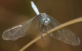 Janet -  Dragon fly