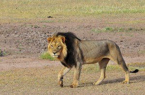 Male Lion in Kgalagadi Transfrontier Park