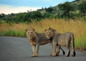 Juvenile male lions in road - Pilanesberg