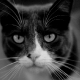 grey-and-white-cat